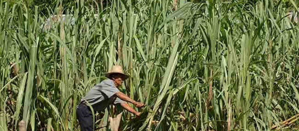 Farmer Salustiano Mariano uses a knife to harvest sugar cane in Bacsil North, Ilocos Norte in this Sept. 29, 2005 file photo.